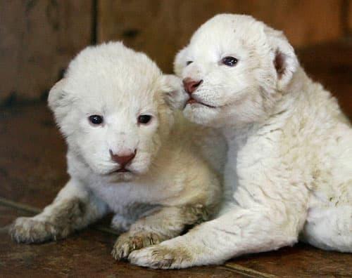mali beli lavovi