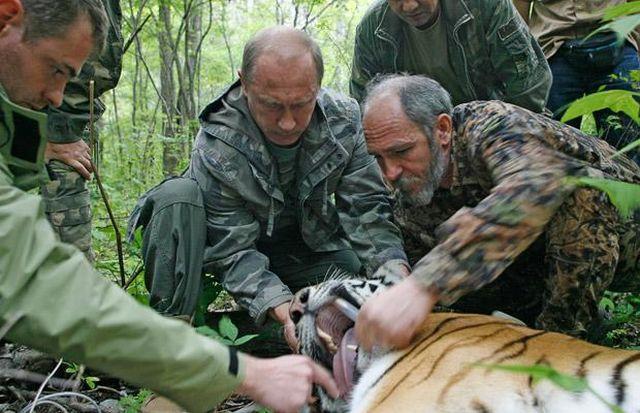 Vladimir Putin postavlja uređaj za praćenje tigra